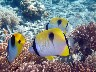 Three TEARDROP BUTTERFLYFISH from PITI BOMBHOLES, a very easy shore dive
